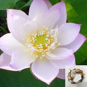 草花の苗/19年3月中旬予約 花はす:レンコン丸:桃源晄