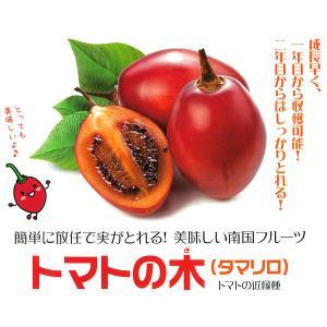 果樹の苗/18年4月中旬予約 タマリロ(トマトの木)3.5号ポット