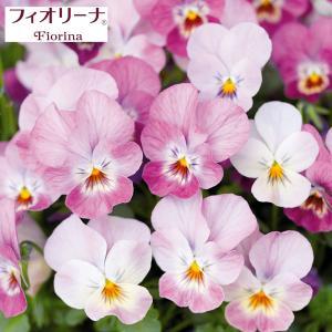 あふれるほどたくさんの花数で、圧倒的な満開感のサントリーのビオラ「フィオリーナ」。「満開力」にこだわ...