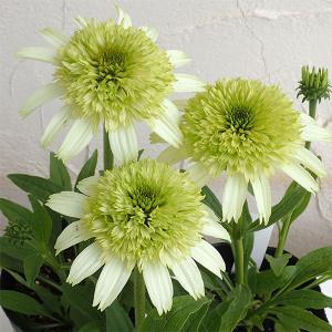 カラフルで豪華な八重咲エキナセア。珍しい品種をセレクトしてお届けします。ハニーデューは人気のグリーン...