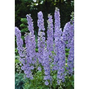 鮮明な花色の花穂が高く直立するデルフィニウム。イングリッシュガーデンの代表的な品種のひとつで、花壇の...