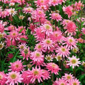 夏の花、エキナセア。印象的な花が花壇で人気です。とても丈夫で栽培しやすい宿根草です。夏の暑さに負けず...