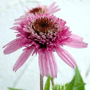 夏の花、エキナセア。印象的な花が花壇で人気です。夏の暑さに負けずに開花し続けます。よく分枝して切花や...
