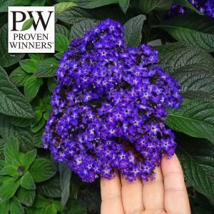 草花の苗/20年4月中下旬予約 ヘリオトロープ:ブライドブルー3号ポット