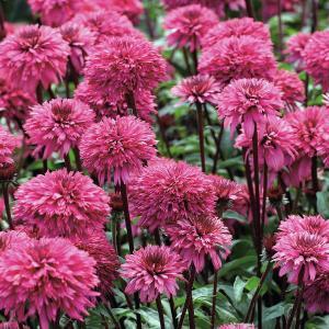 カラフルで豪華な八重咲エキナセア。珍しい品種をセレクトしてお届けします。ブラックベリートラッフルは濃...