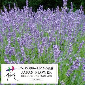 ★小さい苗となります★長崎県オリジナル品種。耐暑性が非常に強い2季咲きのイングリッシュラベンダーです...