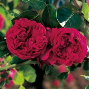 バラの苗/18年5月中旬予約 つるバラ:ルージュ ピエール・...