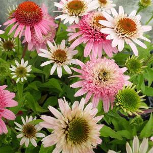 ピンクダブルデライトは、コラレット咲きの花がとても可愛らしい八重咲き種です。夏の花、エキナセア。印象...