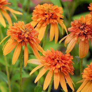 マーマレードは八重咲では初めてのゴールドからアプリコットで咲き始め、盛夏はサーモンピンクを帯びる美花...