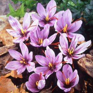 晩秋に紫色の花を咲かせるサフランは、クロッカスの仲間です。スパイシーな香りで、水に溶けると黄金色にな...