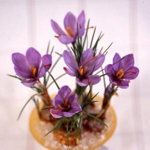 晩秋に紫色の花を咲かせるサフランは、クロッカスの仲間です。赤い雌しべにスパイシーな香りがあり、水に溶...