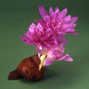 秋咲き球根の代表格で、水いらず、土いらずで、バスケットなどに入れて置いておくだけで花芽を出し、きれい...