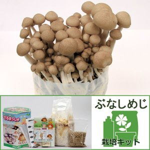 家庭用のきのこ栽培キット。発芽から約2週間できのこが収穫できます。育てて食べる究極の楽しみの栽培セッ...