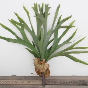 いなざうるす屋 フェイクグリーン コウモリランL 壁飾り 壁掛けインテリア 観葉植物 ウォールデコレーション 緑 壁掛け インテリア|enteron-kagu-shop