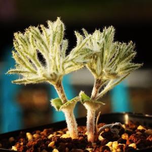 【送料無料】エリオスペルマム ドレゲイ  Eriospermum dregei 【3号鉢】多肉植物 観葉植物 珍しい インテリア かわいい ギフト 苗|erioquest