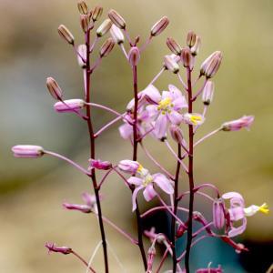 【送料無料】ドリミア ナナ  Dorimia nana 【3号鉢】多肉植物 観葉植物 サボテン 珍しい おしゃれ ギフト インテリア かわいい|erioquest