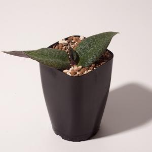 【送料無料】 レスノヴァ メガフィラ Resnova megaphylla 【3号鉢】多肉植物 観葉植物  サボテン 珍しい おしゃれ  ギフト  苗|erioquest