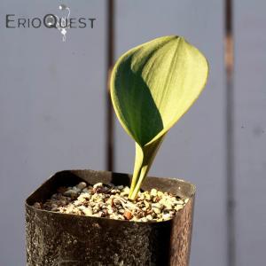 【3号鉢】エリオスペルマム・プベスケンス (Eriospermum pubescens ) 多肉植物 観葉植物 インテリア 育て やすい 珍奇植物 南アフリカ 苗|erioquest