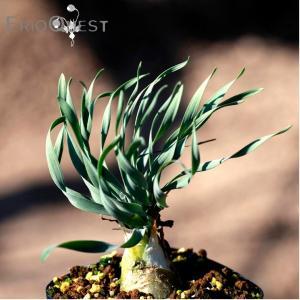 【3号鉢】ドリミア・フィソデス( Drimia physodes ) 塊根 塊茎 コーデックス 球根 苗 多肉植物 観葉植物 インテリア  珍奇植物|erioquest