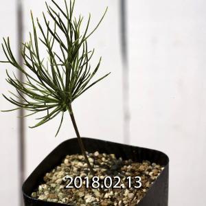 【送料無料】エリオスペルマム ムルチフィヅム Eriospermum Multifidum 【3号鉢】多肉植物 観葉植物 サボテン 珍しい おしゃれ|erioquest