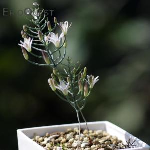 【送料無料】エリオスペルマム アフィルム Eriospermum aphyllum Type-RX 【3号鉢】多肉植物 観葉植物 珍しい インテリア|erioquest