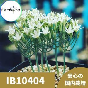【3号鉢】エリオスペルマム・アフィルム (Eriospermum aphyllum IB10404 ) 苗 多肉植物 観葉植物 インテリア 育て|erioquest