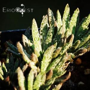 【送料無料】 ブルビネ マルガレタエ Bulbine margarethae 【3号鉢】多肉植物 観葉植物  サボテン 珍しい おしゃれ  ギフト|erioquest