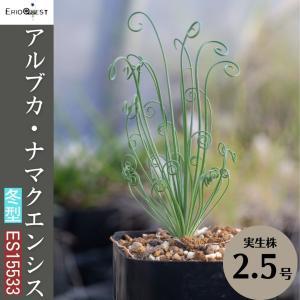 【送料無料】アルブカ・ナマクエンシス Albuca namaquensis worcent ES15533 【3号鉢】実生 苗  子株 珍奇植物|erioquest
