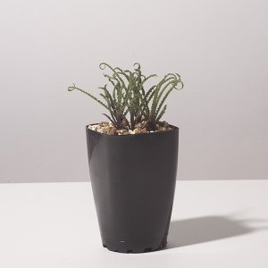 レデボウリア クリスパ 小型 Ledebouria crispa 販売 通販 種類 育て方 erioquest