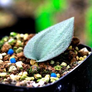 【3号鉢】エリオスペルマム・オーニソガロイデス(Eriospermum Ornithogaloides)苗 多肉植物 観葉植物 インテリア 育て|erioquest