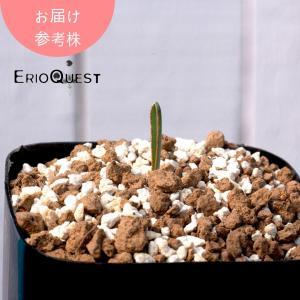 【送料無料】アルブカ・ディルキュラ Albuca dilucula 【3号鉢】苗 多肉植物 観葉植物 インテリア  珍奇植物  ギフト|erioquest