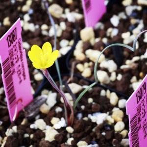 ゲイソリザ・コルガータ (Geissorhiza corrugata) 国内実生 多肉 珍奇 植物 珍 レア  花 南ア 育て方 販売|erioquest