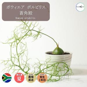 【送料無料】 ボウィエア ボルビリス蒼角殿 Bowiea volubilis  【外径11.7cm】 ソウカクデン 多肉植物 観葉植物  サボテン 珍|erioquest