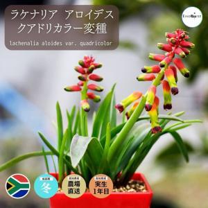 【送料無料】 ラケナリア アロイデス クアドリカラー変種  Lachenalia aloides 【3号鉢】 多肉植物 観葉植物  サボテン 珍しい|erioquest