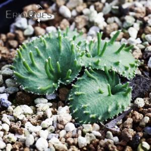 【送料無料】エリオスペルマム アペンデクラツム  Eriospermum appendiculatum Steytlerville RSA 【3号鉢】|erioquest