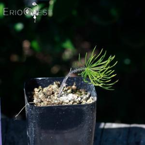 【送料無料】エリオスペルマム プロリフェルム  Eriospermum proliferum Type-KH 【3号鉢】多肉植物 観葉植物 珍しい 苗|erioquest