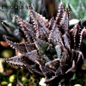 【送料無料】 ハオルチア 暗黒竜 Haworthia hybrid Ankokuryu 【3号鉢】多肉植物 観葉植物  サボテン 珍しい おしゃれ|erioquest