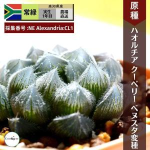 【送料無料】 ハオルチア クーペリー ヴェヌスタ変種  Haworthia cooperi venusta  【3号鉢】多肉植物 観葉植物 サボテン|erioquest
