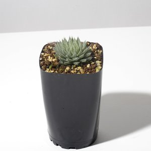 【送料無料】 ハオルチア テネラ Haworthia tenera 【3号鉢】多肉植物 観葉植物  サボテン 珍しい おしゃれ  ギフト   インテリ|erioquest