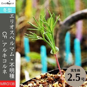 【送料無料】エリオスペルマム アルキコルネ Eriospermum cf. alcicorne MRO136 【3号鉢】多肉植物 観葉植物 珍しい 苗|erioquest
