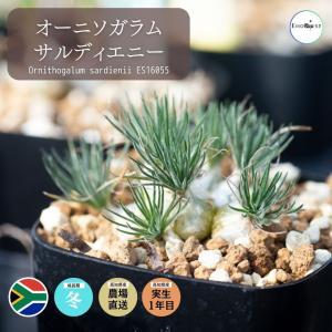 オーニソガラム オオアマナ サルディエニー Ornithogalum sardienii ES16055 種類 花 球根 erioquest