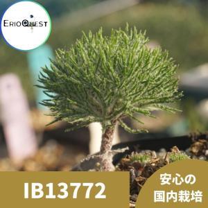 【送料無料】エリオスペルマム ドレゲイ Eriospermum dregei IB13772 【3号鉢】多肉植物 観葉植物 珍しい インテリア かわい|erioquest