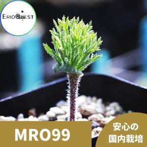【送料無料】エリオスペルマム・ケルビコルネ Eriospermum cervicorne MRO99 【3号鉢】多肉植物 観葉植物 珍しい インテリア|erioquest