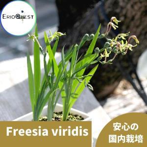 【送料無料】 フリージア ヴィリディス Freesia viridis 【3号鉢】多肉植物 観葉植物  球根 サボテン 珍しい おしゃれ  ギフト erioquest