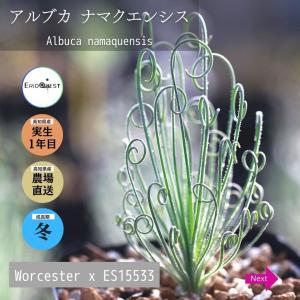 アルブカ ナマクエンシス Albuca namaquensis Worcester x ES15533 erioquest