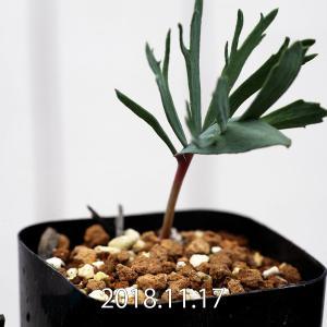 【送料無料】エリオスペルマム アルキコルネ Eriospermum alcicorne 【3号鉢】多肉植物 観葉植物 珍しい インテリア かわいい 苗|erioquest