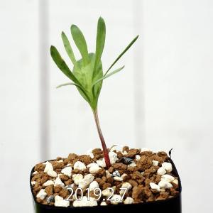 【送料無料】エリオスペルマム アルキコルネ Eriospermum alcicorne EQ305 【3号鉢】観葉植物 多肉植物  珍しい かわいい|erioquest