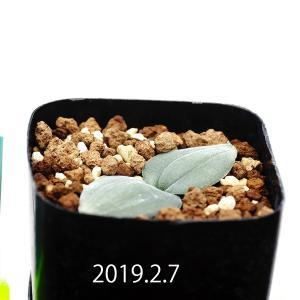 【送料無料】ドリミア プラティフィラ Drimia platyphylla IB12541 【3号鉢】多肉植物 観葉植物 サボテン 珍しい おしゃれ|erioquest