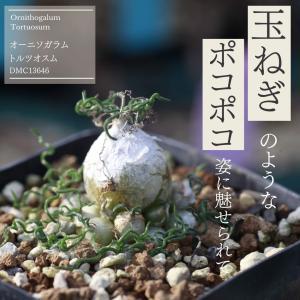 【送料無料】オーニソガラム・トルツオスム Ornithogalum Tortuosum DMC13646  【3号鉢】南アフリカ珍奇植物 実生 苗 子|erioquest