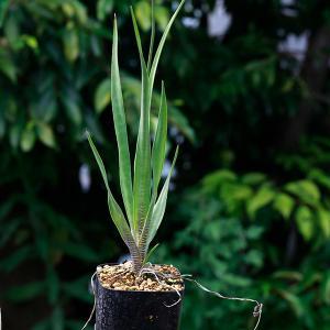 レデボウリア マルギナータ Ledebouria margina 観葉植物 球根 販売 豹柄 クサキカズラ科|erioquest